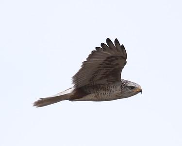 Klamath Lake trip birds Jan2016  006