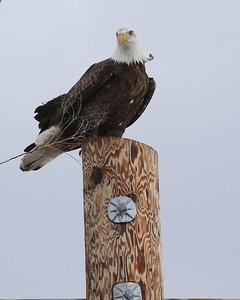 Klamath Lake trip birds Jan2016  094