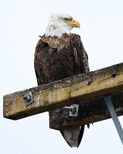 Klamath Lake trip birds Jan2016  355