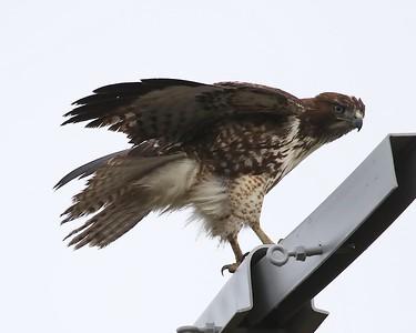 Klamath Lake trip birds Jan2016  290