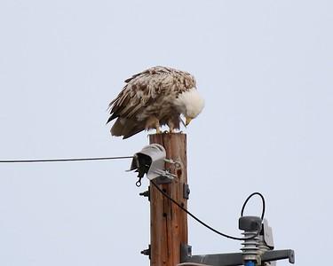 Klamath Lake trip birds Jan2016  316