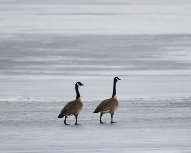 Klamath Lake trip birds Jan2016  349