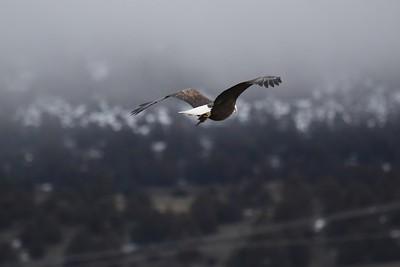Klamath Lake trip birds Jan2016  277