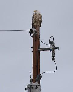 Klamath Lake trip birds Jan2016  299