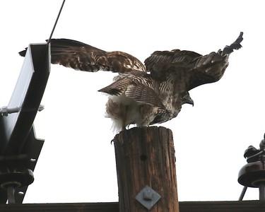 Klamath Lake trip birds Jan2016  295