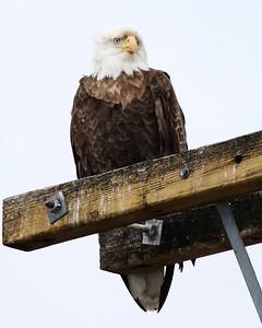 Klamath Lake trip birds Jan2016  356