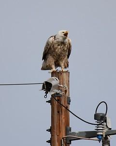 Klamath Lake trip birds Jan2016  336