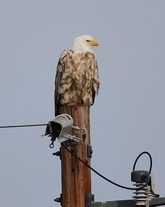 Klamath Lake trip birds Jan2016  328