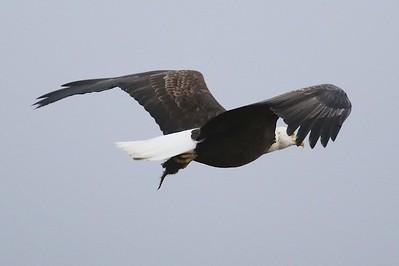 Klamath Lake trip birds Jan2016  276