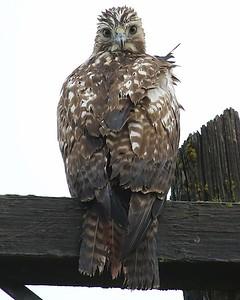 Klamath Lake trip birds Jan2016  279