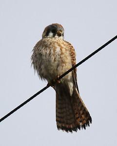 Klamath Lake trip birds Jan2016  345