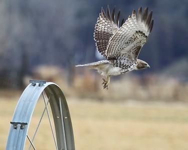 Klamath Lake trip birds Jan2016  268