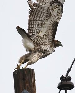 Klamath Lake trip birds Jan2016  296