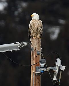 Klamath Lake trip birds Jan2016  343