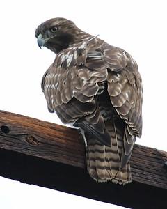 Klamath Lake trip birds Jan2016  284