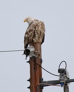 Klamath Lake trip birds Jan2016  320