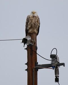 Klamath Lake trip birds Jan2016  300