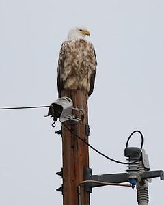 Klamath Lake trip birds Jan2016  301