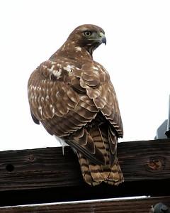 Klamath Lake trip birds Jan2016  286