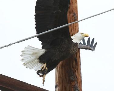 Klamath Lake trip birds Jan2016  274