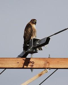 Klamath Lake trip birds Jan2016  413