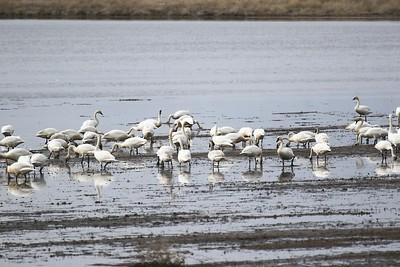 Klamath Lake trip birds Jan2016  498