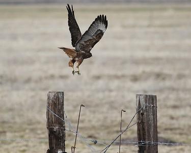 Klamath Lake trip birds Jan2016  470