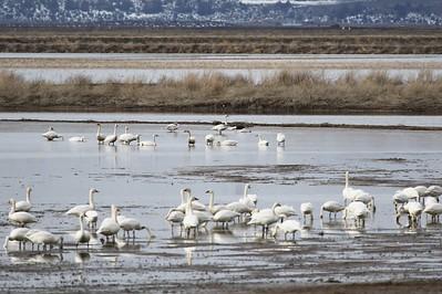 Klamath Lake trip birds Jan2016  489