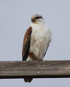 Klamath Lake trip birds Jan2016  417