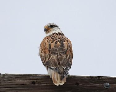 Klamath Lake trip birds Jan2016  426