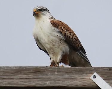 Klamath Lake trip birds Jan2016  421