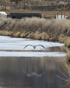 Klamath Lake trip birds Jan2016  453