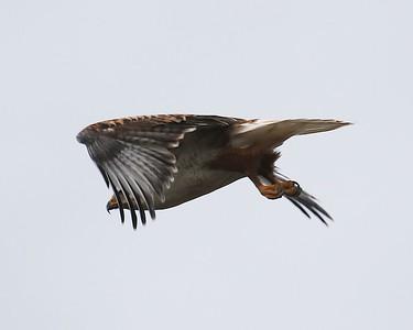 Klamath Lake trip birds Jan2016  429