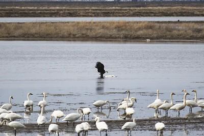 Klamath Lake trip birds Jan2016  487