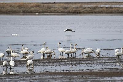 Klamath Lake trip birds Jan2016  491