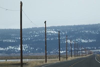 Klamath Lake trip birds Jan2016  460