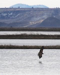 Klamath Lake trip birds Jan2016  525