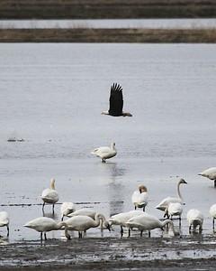 Klamath Lake trip birds Jan2016  504