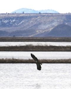 Klamath Lake trip birds Jan2016  520