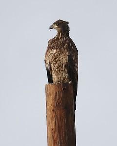 Klamath Lake trip birds Jan2016  471