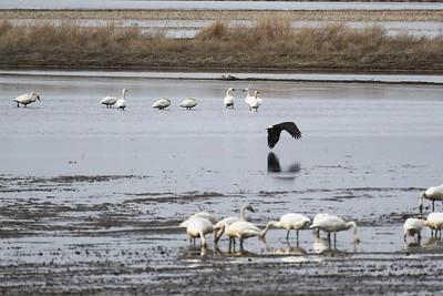 Klamath Lake trip birds Jan2016  492