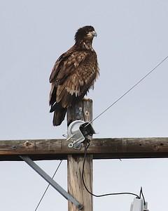 Klamath Lake trip birds Jan2016  430