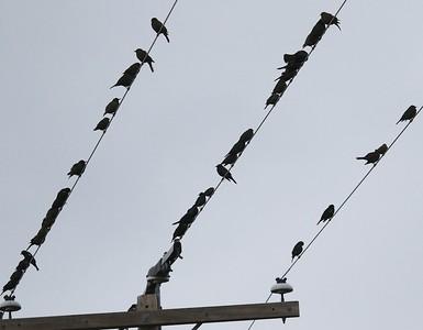 Klamath Lake trip birds Jan2016  458