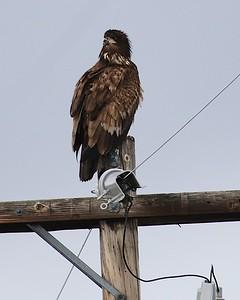 Klamath Lake trip birds Jan2016  432