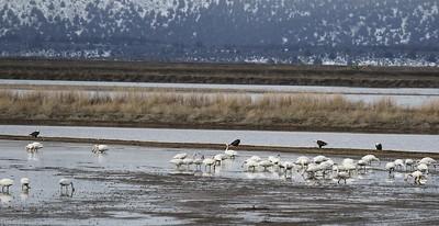 Klamath Lake trip birds Jan2016  512