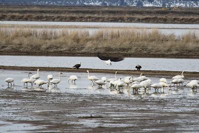 Klamath Lake trip birds Jan2016  495
