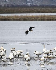 Klamath Lake trip birds Jan2016  502