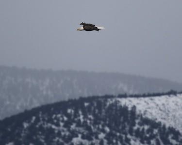 Klamath Lake trip birds Jan2016  478