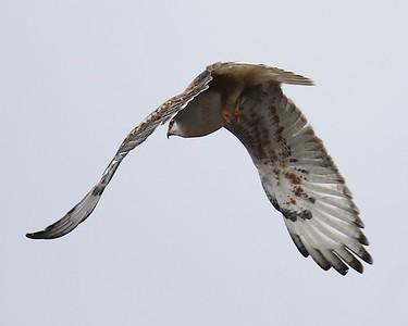 Klamath Lake trip birds Jan2016  424