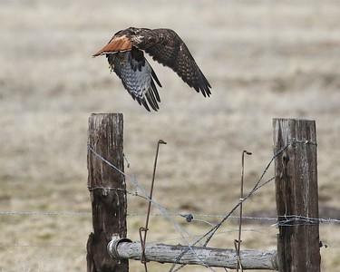 Klamath Lake trip birds Jan2016  469